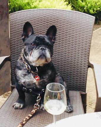 French Bulldog sitting on a chair enjoying a chardonnay